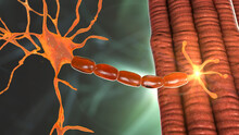 Motor Neuron Connecting To Muscle Fiber, 3D Illustration