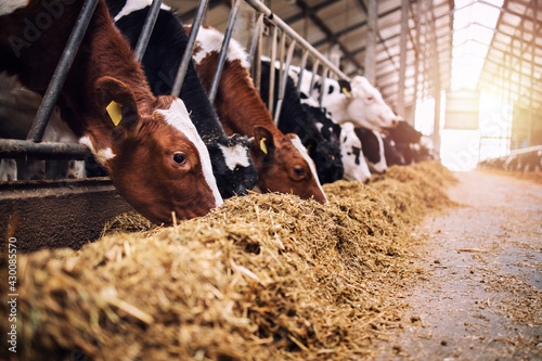 Foto Group of cows at cowshed eating hay or fodder on dairy farm.