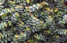 Daun Dolar Rambat, Dollar Creepers (Ficus Pumila) Are A Species Of Vines Originating From The Genus Ficus