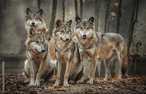 Fototapeta A pack of four wolves (Canis lupus) in the leaves