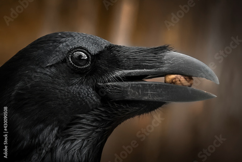 Fototapeta premium Detail portrait of raven with an open beak holding a nut, Close-up of black bird