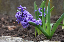 Close-up Shot Of A Beautiful Purple Hyacinth In The Botanical Garden