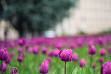 Tulips In Spring, Purple Tulips In Spring On A Flower Bed In The Park, Cultivation Of Tulnans Flowering Field, Pink Flower Stem And Leaves Close-up On The Background Of The Ground