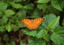 An Orange Butterfly, Possibly A Fritillary, On Green Leaves In Zimbabwe