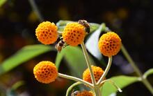 Bees Pollinating Orange Ball Tree Flowers (Buddleja Globosa)