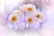 Mak polny Bridal Silk – biały ( Papaver rhoeas ) White flower. Flowers in dew