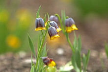 Fritillaria Uva-vulpis, Fox-grape Fritillary Is A Perennial Plant With Dark Purple Bell-shaped Flowers With Bright Yellow Border