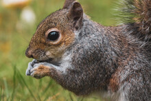 Grey Squirrel Eating Seeds