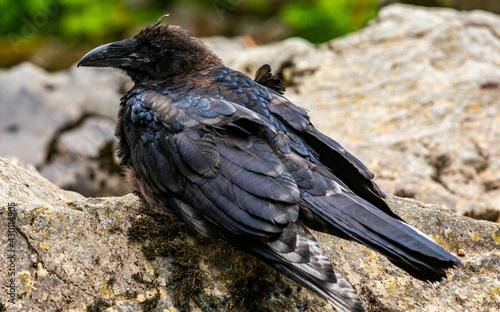 Fototapeta premium Crow, adult black crow, alaska