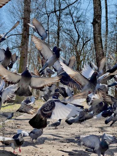 Fototapeta premium Soaring flock of pigeons in the park in motion.