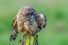 Short Eared Owl (Asio Flammeus) Preening Feathers While Perched On Old Wooden Post With Soft Focus Green Background Fields