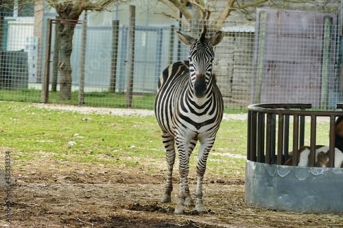 Fototapeta premium zebra in zoo, photo as a background