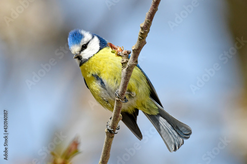 Fotografie, Obraz Blaumeise // Blue tit, Eurasian blue tit (Cyanistes caeruleus)