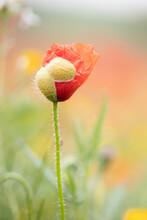 Poppy Emerging From The Capsule In The Field.