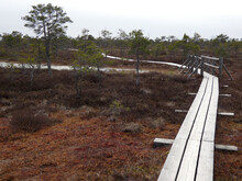 Hiking Trail With A Wooden Path Through A Swamp With Low Pine Trees