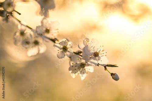 Obraz wiosenne kwitnące drzewa owocowe - fototapety do salonu