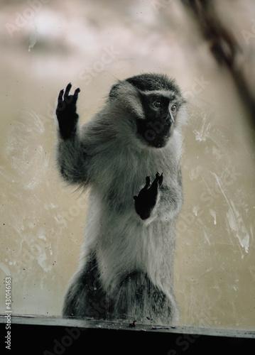 Fototapeta premium Monkey looking through the glass