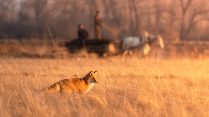 Red fox on the hunt in the yellow field