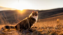 A Fluffy Siberian Cat Sits In A Yellow Field At Sunset