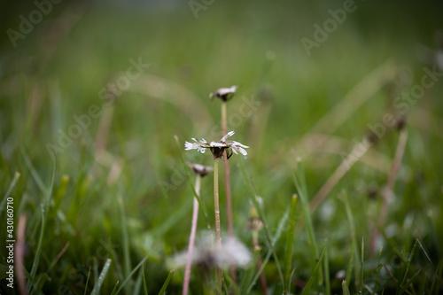 Stampa su Tela Wet dandelion petal on freshly cur lawn