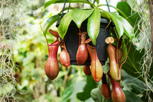 Nepenthes Burkei Tropical Pitcher Plant. They Produce Nectar In Their Leaves To Catch Insects.