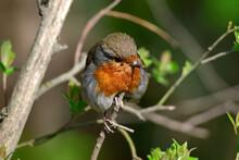 Rotkehlchen // Robin (Erithacus Rubecula)