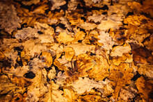 Texture Of Oak And Maple Leaves, Brown And Yellow, Fallen To The Ground
