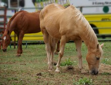 Medium Close Up Shot Of Two Brown Horses Grazing On Scanty Grass In A Closed Area At An Agriculture Exhibit.