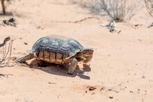 Desert Tortoise, Gopherus Agassizii, In The Sandy Nevada Desert After Emerging From Its Winter Hibernation Den.