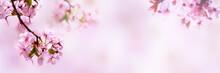 Kirschblüten Isoliert Auf Abstraktem Rosa Hintergrund