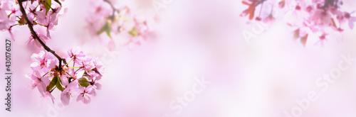 kirschblüten isoliert auf abstraktem rosa hintergrund - fototapety na wymiar
