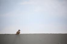 Zebra Dove Bird On White Mortar Wall With Light Blue Sky