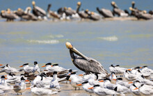 Brown Pelican Scratching Himself Among A Pelican And Royal Tern Colony Off The Shores Of Marco Island, Florida, USA