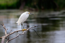 Snowy Egret (Egretta Thula) Perched On Branch Over Water