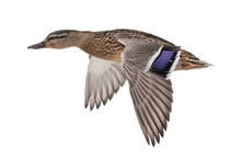 Brown Mallard Duck Flight Isolated On White