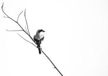Great Grey Shrike Perched On A Twig At Adhari, Bahrain