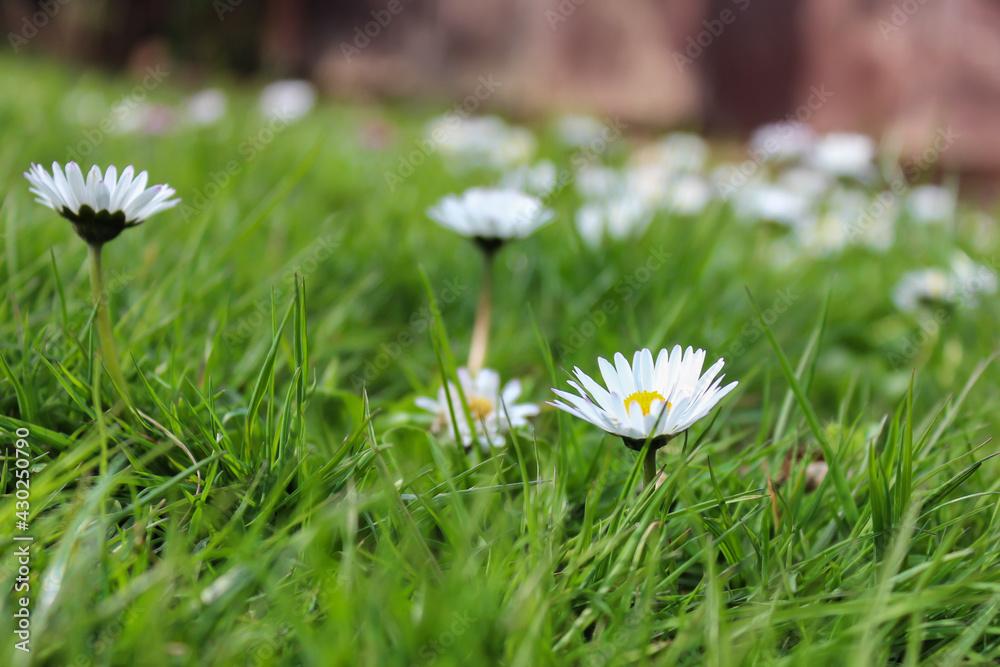 Fototapeta Sezon wiosenny, stokrotki i ogród