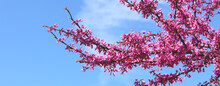 Beautiful Redbud Tree (Cercis Canadensis) Blossoms In Springtime. Nature Landscape With Sunbeams. Natural Concept.