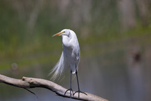 Close-up Of A Snowy Egret Perched In Beautiful Light