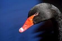 Black Swan Portrait