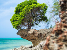 Low Angle View To The Mangrove Tree On Rock And Ocean During Low Tide. Zanzibar, Prison Island.