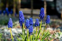 Muscari Armeniacum Blue Hyacinth In Sunlight