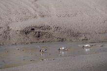 Three Ducks In A Row, Feeding On North Devon Mudflats. Common Shelduck Aka Tadorna Tadorna