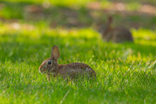 Eastern Cottontail Rabbit In Grassy Field