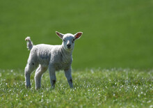 One Happy Spring Lamb In A Green Field