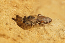Closeup Of A Female Red Bellied Minor, Andrena Ventralis, Entering Her Underground Nest