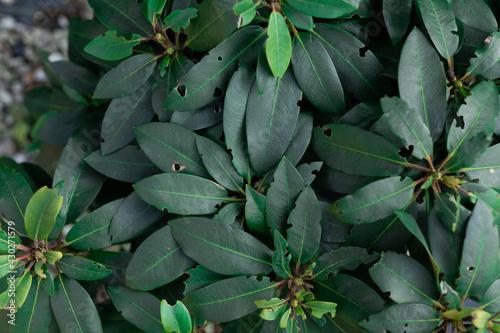 Rhododendron zniszczony przez szkodnika roślin chrząszcza opuchlaka - fototapety na wymiar