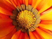 Yellow Flowers Of Gazania. Gazaniais Agenusofflowering Plantsin ThefamilyAsteraceae,nativetoSouthern Africa. They Produce Large Flowers  Daisy-likecomposite Shades Of Yellow And Orange.