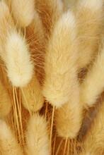 Dry Fluffy Bunny Tails Grass Lagurus Ovatus Flowers Close Up Background.  Tan Pom Pom Plants Backdrop.