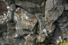 Close-up Of Seagulls On A Steep Rock Face On The West Coast In Iceland In July.An Egg Can Be Seen On Two Nests, The Egg Has Already Hatched On The Bottom Nest In The Middle.